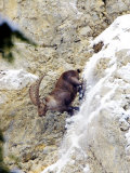 Ibex, Male Descending Snowy Rocks, Switzerland Photographic Print by David Courtenay
