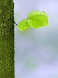 Leaf and Trunk Detail in Bluebell Forest, Chilterns, UK Photographic Print by David Clapp