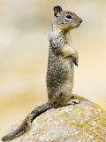 Beecheys Ground Squirrel, Alert Squirrel Standing on Rock, California, USA Photographic Print by David Courtenay