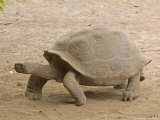Race of Galapagos Tortoise, Giant Tortoise Breeding Center, Galapagos, Ecuador Photographic Print by David M. Dennis