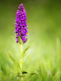 Southern Marsh Orchid, Devon, UK Photographic Print by David Clapp
