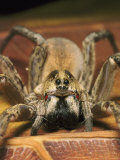 Wolf Spider, Female, Florida, Ocala National Forest Photographic Print by David M. Dennis