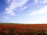 Poppy Field in Newquay, UK Photographic Print by David Clapp
