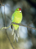 Red-Crowned Parakeet, N. Zealand Photographie par Robin Bush