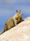 Beecheys Ground Squirrel on Rocks, California, USA Photographic Print by David Courtenay