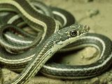 Striped Whipsnake, New Mexico Photographic Print by David M. Dennis