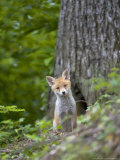 Red Fox, Fox Cub, Vaud, Switzerland Photographic Print by David Courtenay