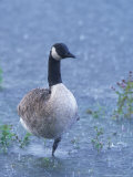 Canada Goose, Standing on One Leg in Storm, Berkshire, England Photographic Print by David Courtenay