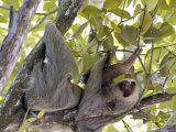 Two-Toed Sloth, Costa Rica Fotografisk tryk af David M. Dennis