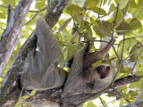 Two-Toed Sloth, Costa Rica Photographic Print by David M. Dennis