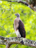Grey-Headed Fish Eagle, Perching on Branch, Assam, India Photographic Print by David Courtenay