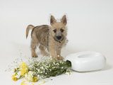Terrier, Puppy Photographic Print by David M. Dennis