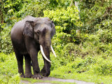 Asian Elephant, Male Walking on Track, Assam, India Photographic Print by David Courtenay
