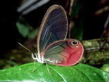 Butterfly, La Selva, Costa Rica Photographic Print by Philip J. Devries