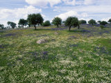 Flowering Meadow with Quercus Ilex, Extremadura, Spain Photographic Print by Olaf Broders