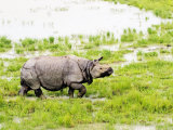Indian Rhinoceros, Walking in Swamp, Assam, India Photographic Print by David Courtenay