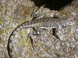 Zebra-Tailed Lizard, California Photographic Print by David M. Dennis