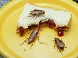 American Cockroach, Periplaneta Americana, Eating Improperly Stored Food Fotografisk tryk af David M. Dennis