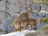Ibex, Young Ibex Mating, Switzerland Photographic Print by David Courtenay