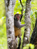 Rhesus Macaque, Climbing in Tree, Assam, India Photographic Print by David Courtenay