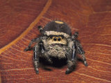 Jumping Spider Photographic Print by David M. Dennis