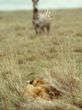 African Lion, Lioness in Ambush, Tanzania Photographic Print by John Downer