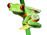 Red-Eyed Tree Frog Photographic Print by David M. Dennis