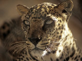 Arabian Leopard, Male, United Arab Emirates Photographic Print by David Cayless