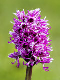 Monkey Orchid, Spike Close Up, UK Photographic Print by David Clapp