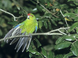 Red-Crowned Parakeet, New Zealand Endemic Photographie par Robin Bush