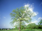 Oak in Spring Photographic Print by Mike England