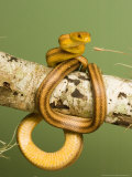 Yellow Rat Snake, Sarasota County, USA Photographic Print by David M. Dennis