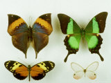 Museum Specimens of Tropical Butterflies Photographic Print by David M. Dennis