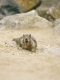 Beecheys Ground Squirrel, Yawning, California, USA Photographic Print by David Courtenay