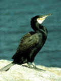 Cormorant, Adult, Scotland, UK Photographie par Kenneth Day