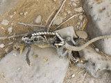 Marine Iguana, Dead, Galapagos, Ecuador Photographic Print by David M. Dennis