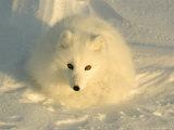 Arctic Fox, Along the Ice Edge of Hudson Bay, Manitoba, Canada Photographic Print
