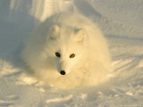 Arctic Fox, Along the Ice Edge of Hudson Bay, Manitoba, Canada Photographic Print by Daniel J. Cox