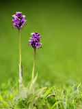 Monkey Orchid, Kent, UK Photographic Print by David Clapp