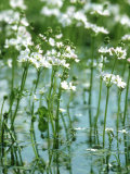 Water Violets, May, East Sussex Photographic Print by Larry Crowhurst