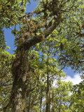 Scalesia Forest, Santa Cruz Island, Ecuador Photographic Print by David M. Dennis