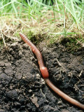 Earth Worm, Lumbricus Terrestris, in Its Burrow Photographic Print by David M. Dennis