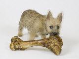 Cairn Terrier Puppy with Bone, 4 Months Old Fotografisk tryk af David M. Dennis