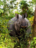 Indian Rhinoceros in Bushes, Assam, India Photographic Print by David Courtenay