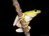 Green Tree Frog Photographic Print by David M. Dennis