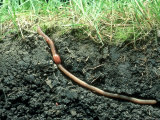 Earth Worm in Its Burrow Photographic Print by David M. Dennis