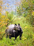 Indian Rhinoceros, Eating in Bushes, Assam, India Photographic Print by David Courtenay