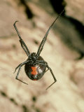 Black Widow Spider, Latrodectus Mactans Photographic Print by David M. Dennis