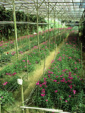 Flower Nursery, Cameron Highlands Malaysia Photographic Print by Dr. Cannon Raymond