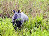 Indian Rhinoceros, Standing in Long Grass Eating, Assam, India Photographic Print by David Courtenay